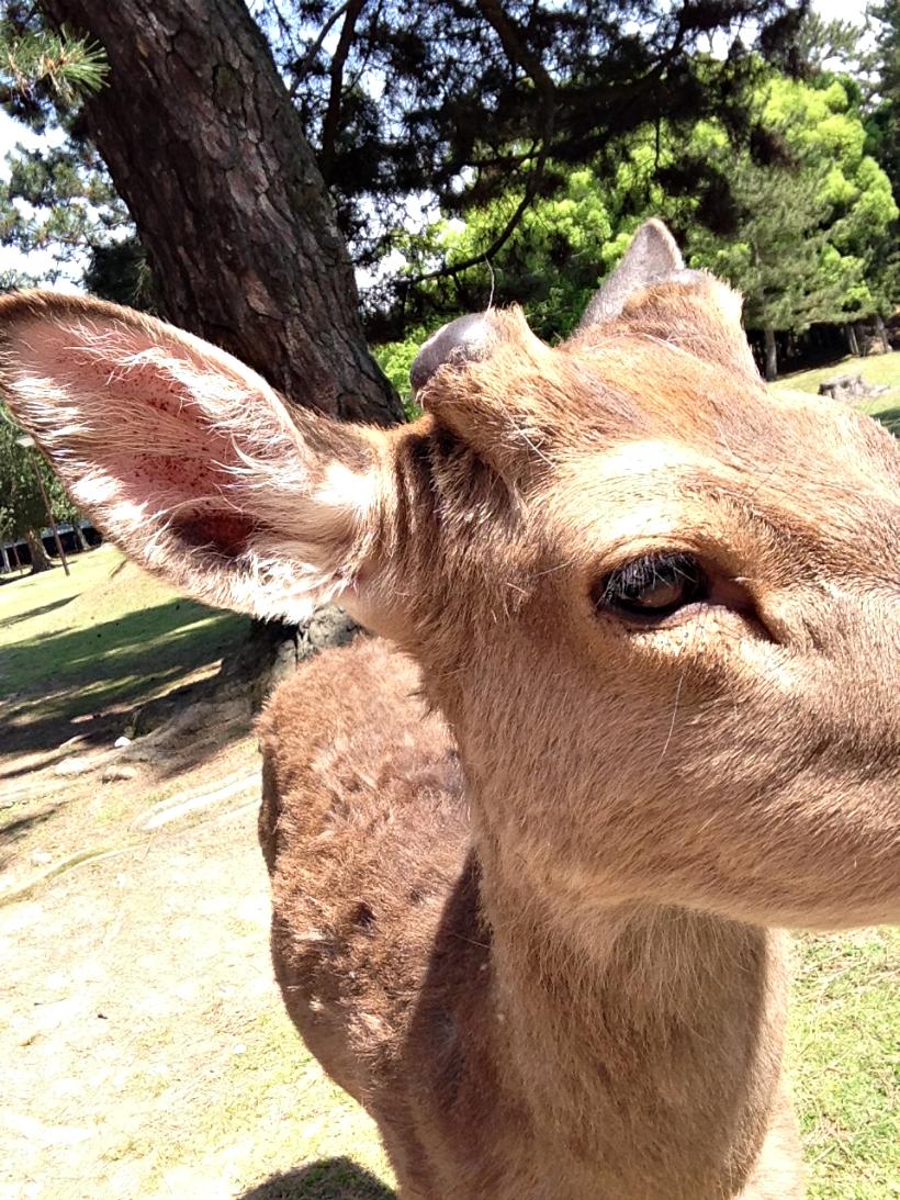 Nara deer japan park.jpg