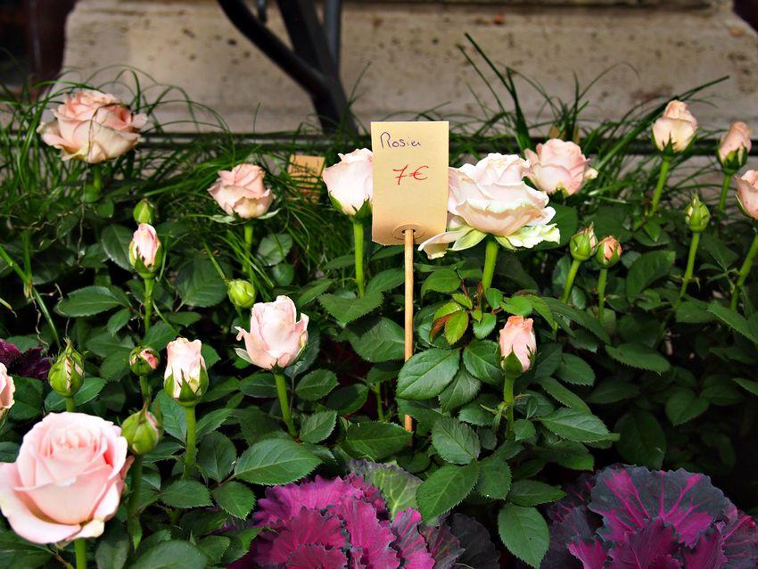 Paris europe france rose